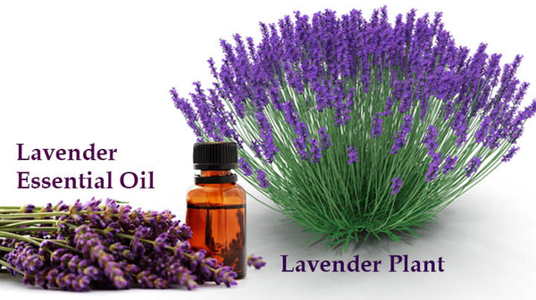 lavender essential oil for treating jet lag