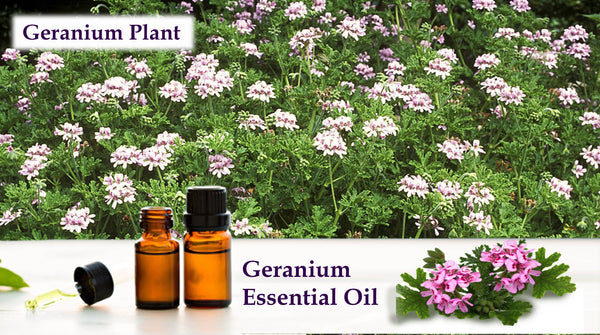 geranium essential oil for treating jet lag