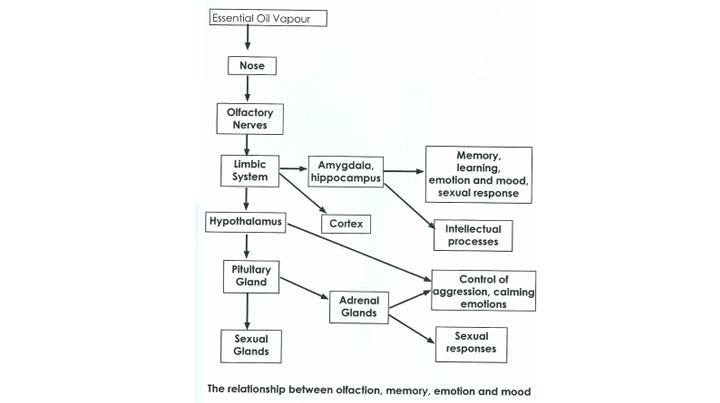 how aromatherapy works in limbic system flow chart