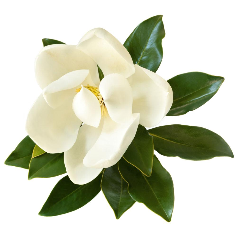 Magnolia Fragrance Oil - Your Crafts