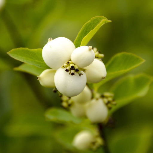 Snowberry & Mistletoe Fragrance Oil - Your Crafts