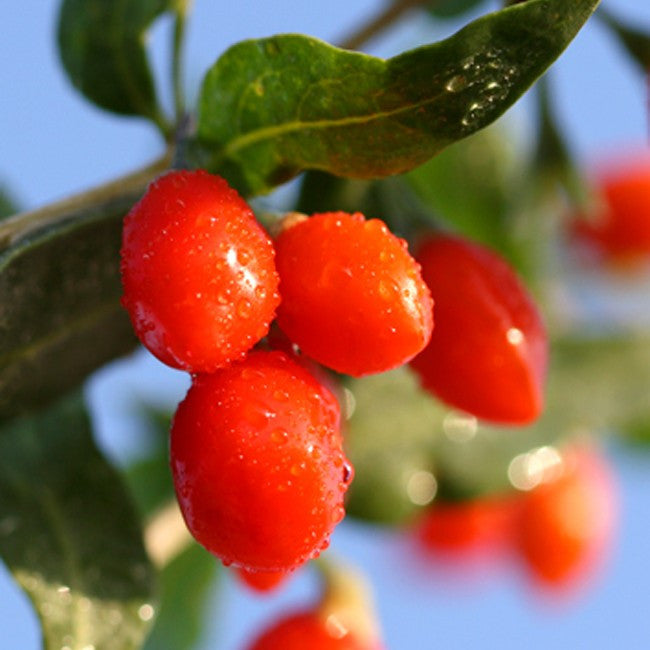 GOJI BERRY OIL - A Natural Facelift of Nourishing Superfoods for an Ageless and Beautiful Skin TerraTeva