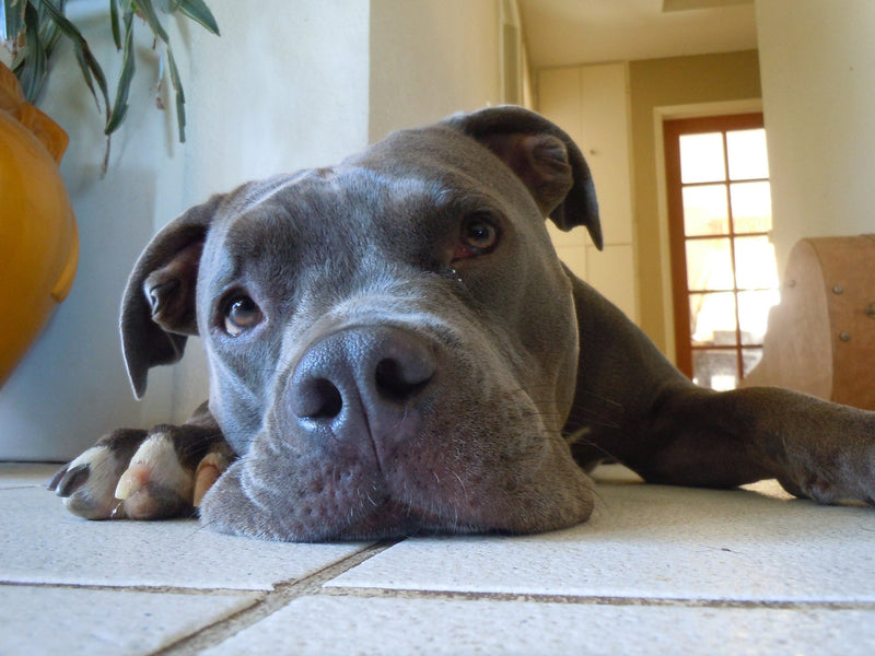 4 common misconceptions about Pitbulls