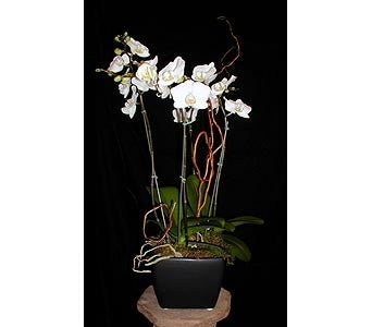 4 Spike Phalaenopsis Orchid - Chic128