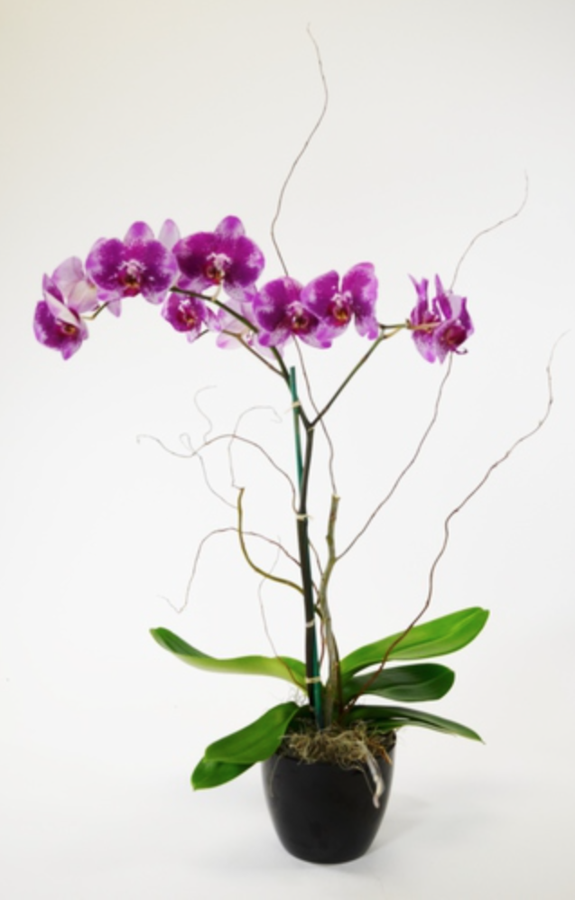 Orchids Galore - Chic128