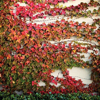 Parthenocissus tricuspidata - Boston Ivy