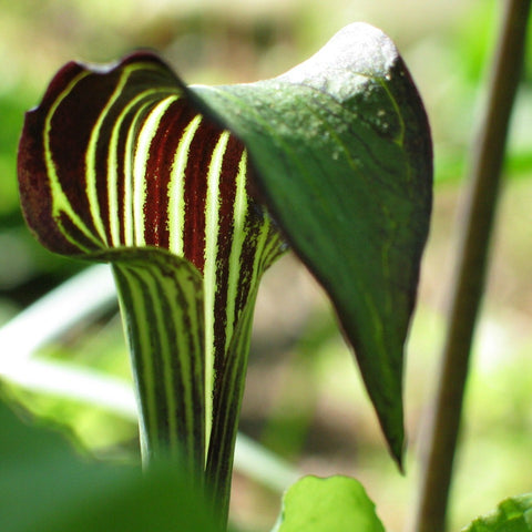 Arisaema triphyllum  Jack-in-the-Pulpit