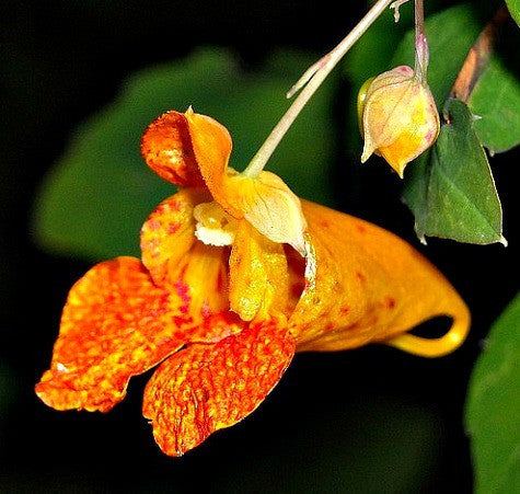 Impatiens capensis - Spotted Jewelweed