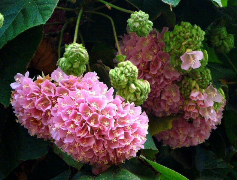 DOMBEYA WALLICHII- Pink Ball Tree