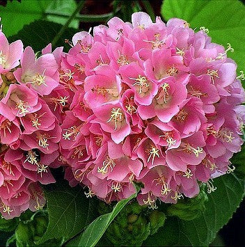 Dombeya burgessiae, Hydrangea Tree, 5 seeds