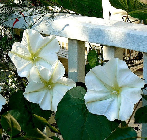 Giant Moonflower- Calonyction aculeatum