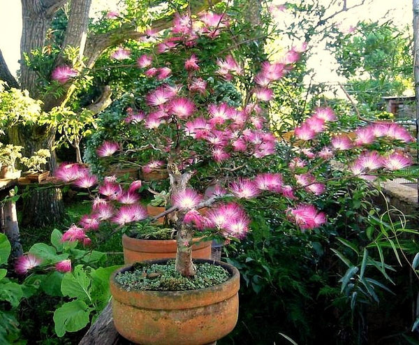 Calliandra eriophylla - Pink Fairy Duster