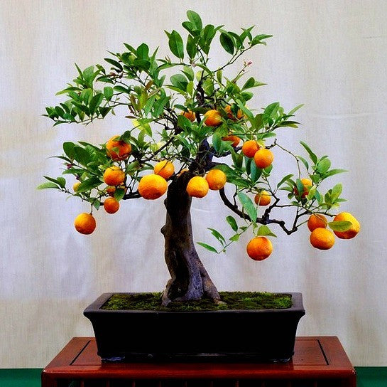 Poncirus citrus trifoliata - Flying Dragon