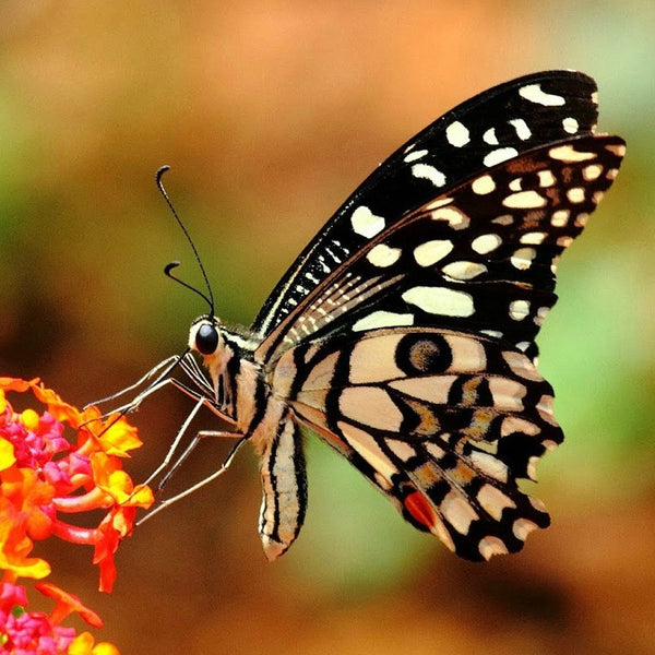 Butterfly Garden Collection - Six Species