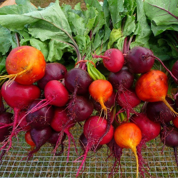Rainbow Beet Collection - Four Heirlooms
