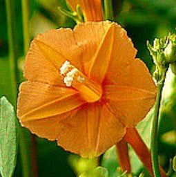 Ipomoea coccinea  Orange Noah