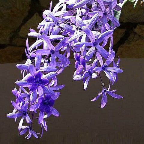Petrea volubilis - Queen's Wreath