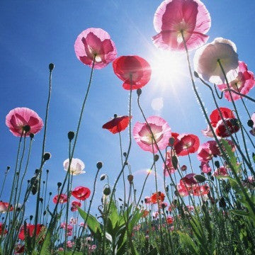 Papaver rhoeas - Pink Shirley Poppy Mix