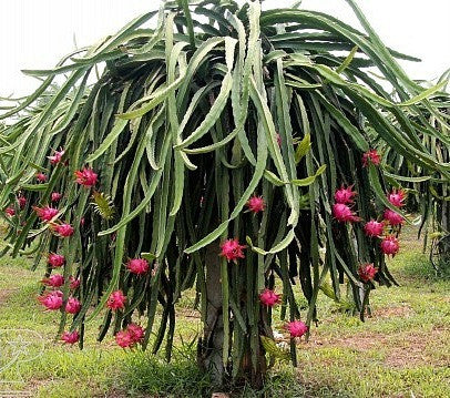 Hylocereus triangularis  Dragon Fruit