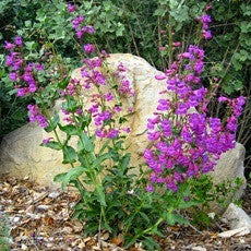Rocky Mountain Penstemon - Penstemon strictus