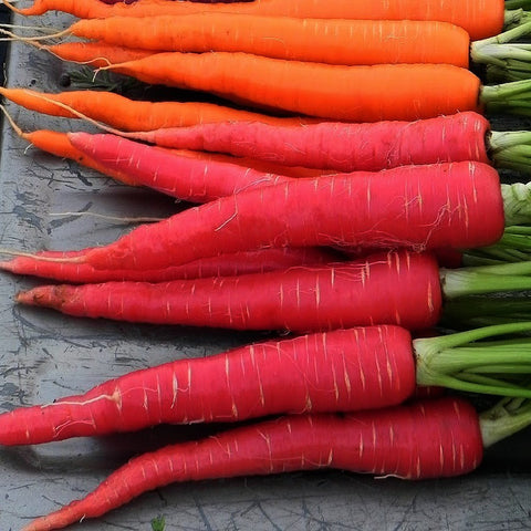 Kyoto Red Carrot  Japanese Heirloom
