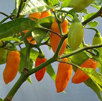 Datil Pepper - Heirloom Chile