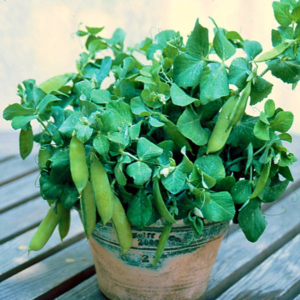 Half-Pint Pea - Miniature Heirloom