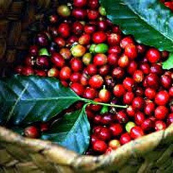Coffea arabica - Coffee Plant