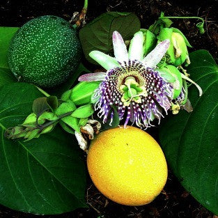 Passiflora ligularis  - Sweet Granadilla