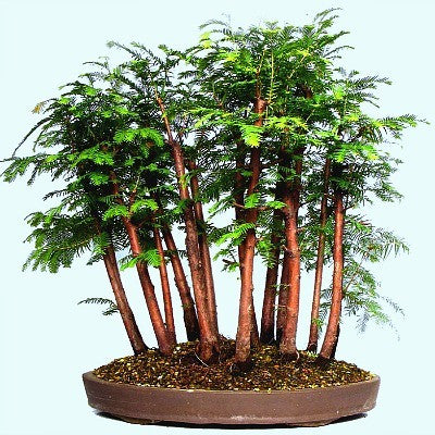 Metasequoia glyptostroboides - Dawn Redwood