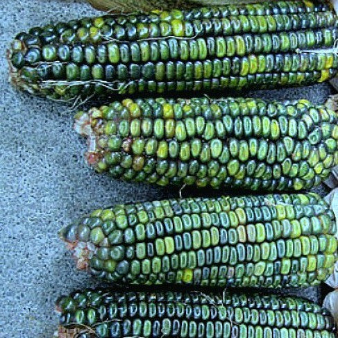 Oaxacan Green Corn - Mexican Heirloom