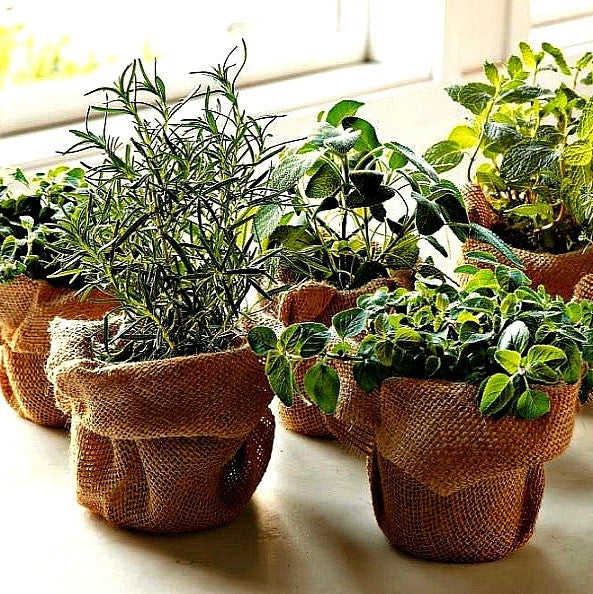 Windowsill Herb Garden - Six Gourmet Herbs