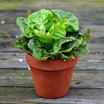 Tom Thumb Heirloom Lettuce