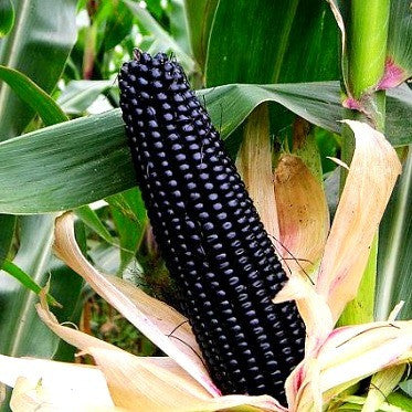 Aztec Black Corn  Ancient Heirloom