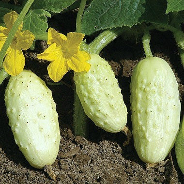 Miniature White Heirloom Cucumber