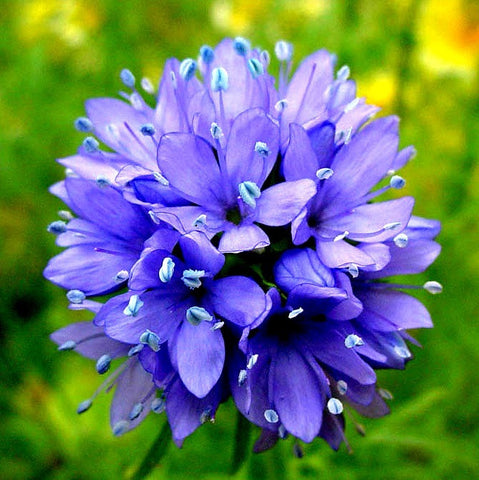 Gilia capitata -  Blue Thimble Flower