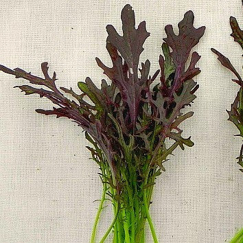 Frilly Mustard Greens - Red Streak