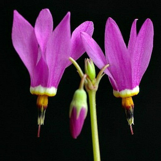 Amethyst Shooting Star - Dodecatheon amethystinum