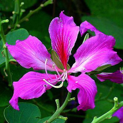 Bauhinia purpurea - Hong Kong Orchid Tree
