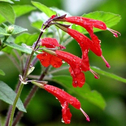 Salvia coccinea - Lady in Red