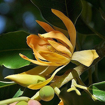 Michelia champaca   Joy Perfume Tree