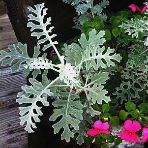 Senecio cineraria  Dusty Miller