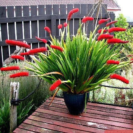 ​Xeronema callistemon - Poor Knights Lily