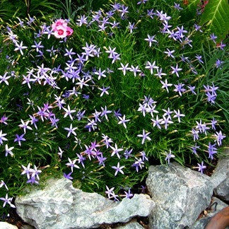 Blue Star Creeper - Laurentia -  Isotoma axilaris