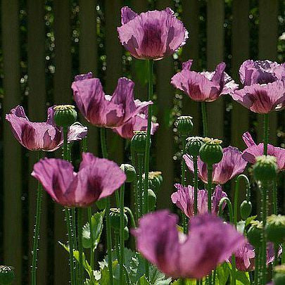 Papaver somniferum - Lavender Poppy