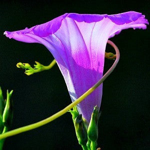 ​Ipomoea cordatotriloba Pink Cotton Morning Glory