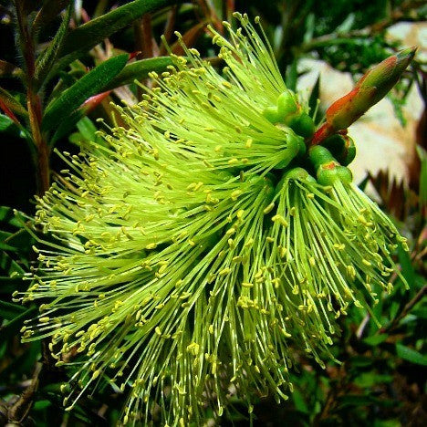 Callistemon pachyphyllus viridis - Lime Green Bottlebrush