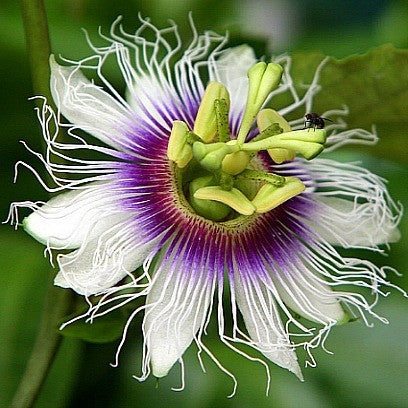 Passiflora edulis - Purple Passion Flower