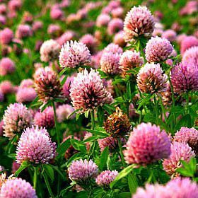Strawberry Clover - Trifolium fragiferum
