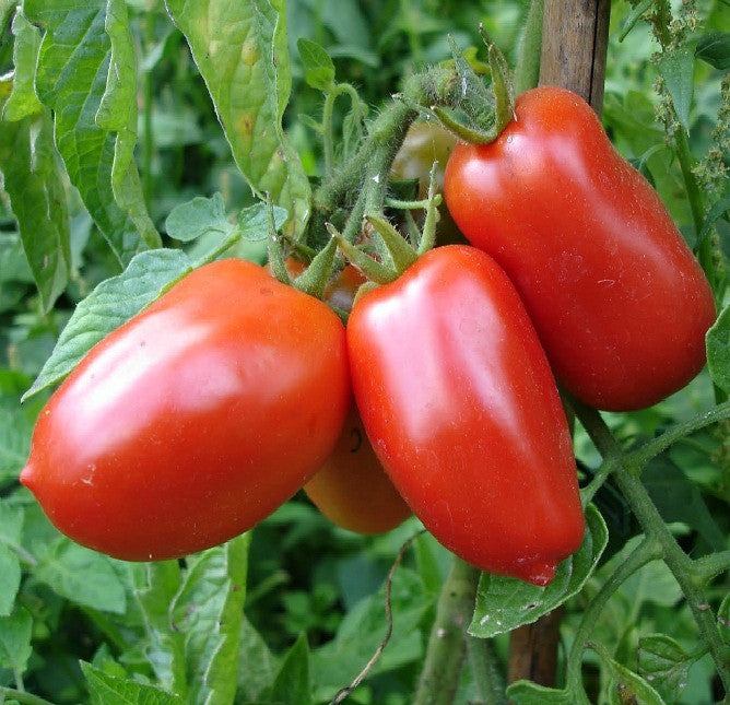 San Marzano - Italian Heirloom Tomato